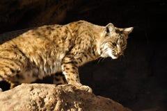 倾斜在边缘的美洲野猫 免版税图库摄影