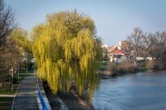 倾斜往河的华美的柳树 图库摄影