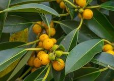 倾斜澳大利亚当地小叶子无花果树的榕属 图库摄影