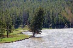 倾斜的常青树 库存照片