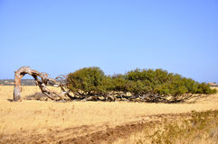 倾斜的玉树 澳大利亚西部 图库摄影