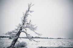 倾斜的积雪的树 库存图片