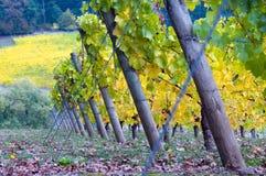 倾斜的葡萄树 库存图片