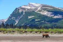 倾斜Mountain湖克拉克阿拉斯加棕熊 免版税图库摄影