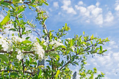 假叶树属aculeatus 库存图片