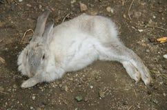 假日游客蓬松兔宝宝 库存图片