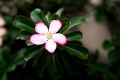 假装与充分红色的花的杜娟花白花 免版税库存照片