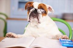 假装哀伤的看起来的英国的牛头犬是商人 免版税图库摄影