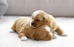 偎依两只小的小狗 免版税库存照片