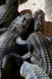 偎依两条的美国短吻鳄 库存照片