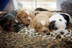 偎依四只小的小狗 图库摄影