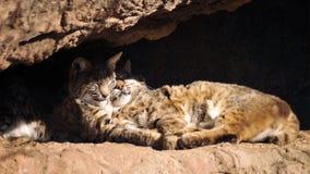 偎依在温暖的沙漠太阳的美洲野猫 免版税库存照片