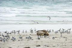 偎依的海狮,坎加鲁岛 库存图片