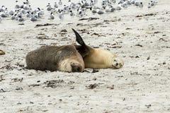 偎依的澳大利亚海狮,坎加鲁岛 免版税库存图片