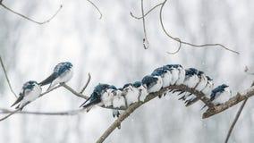 偎依的燕子在冬天 免版税图库摄影
