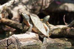 偎依被绘的乌龟 免版税库存照片