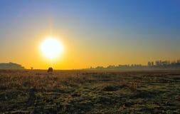 偏僻母牛的黎明 免版税库存照片