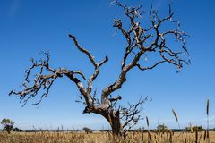 偏僻的光秃的树在澳大利亚沙漠,北方领土,全天相镜头 库存照片