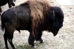 偏僻的北美野牛 影视素材