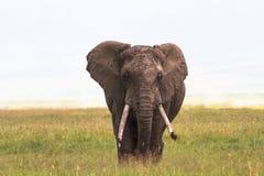 偏僻的大象特写镜头 在Ngorongoro里面火山口  坦桑尼亚,非洲 库存图片