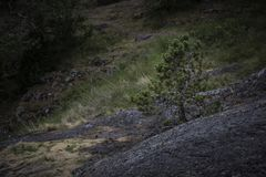 偏僻的年轻松树从青苔增长盖了石头在森林 库存照片