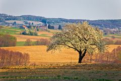 偏僻的开花树在克罗地亚的Prigorje地区 库存照片