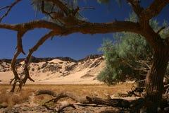 偏僻的撒哈拉大沙漠结构树 免版税库存照片