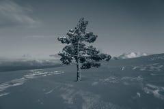偏僻的杉木雪和天空在山在晚上 图库摄影