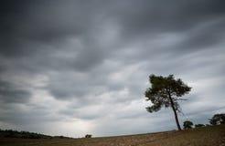 偏僻的杉树和多云风雨如磐的天空 免版税库存图片