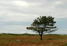 偏僻的杉树 库存图片