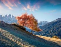 偏僻的树在盖斯勒或Odle白云岩小组前面的圣诞老人马达莱纳半岛村庄 五颜六色的秋天日出在白云岩阿尔卑斯, 免版税图库摄影