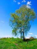 偏僻的桦树在一个小镇的郊区 库存图片