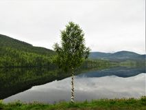 偏僻的桦树,而森林在海湾被反射 库存图片