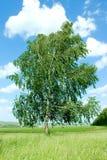 偏僻的桦树 免版税库存图片