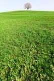 偏僻的橡木teree 免版税图库摄影