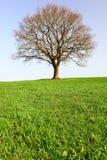 偏僻的橡木teree 库存图片