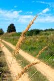 偏僻的芦苇秸杆 图库摄影