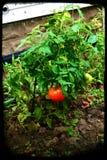 偏僻的蕃茄在药草园里 图库摄影