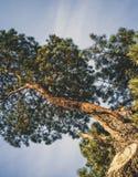 偏僻的PineTree剪影在温暖的冬日在与a的12月 免版税库存照片