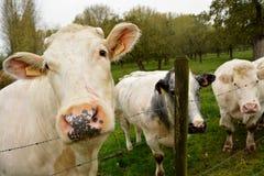 偏差看一头比利时的母牛 免版税库存图片