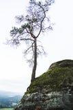 偏僻一棵具球果的杉树在岩石山增长 免版税库存照片