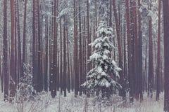 偏僻的云杉在forrest的冬天 免版税库存照片