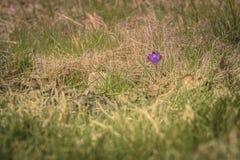偏僻的农夫番红花! 免版税图库摄影