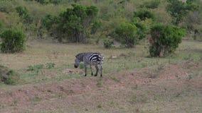 偏僻的斑马特写镜头在非洲大草原的丛林离开 影视素材