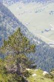 偏僻的杉树 免版税库存图片