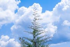偏僻的杉树 免版税图库摄影