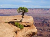 偏僻的杜松树Canyonlands 库存图片