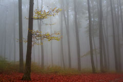 偏僻的树在一有雾的秋天天期间在森林里 免版税图库摄影