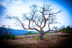 偏僻的树在一美好的天在Sahyadris 库存照片