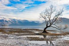 偏僻的树在瓦纳卡湖,新西兰 库存照片